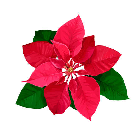 Red Christmas star hand drawn poinsettia flower isolated on a white background.