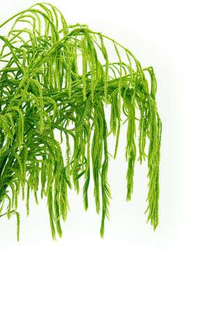 pennata: Acacia pennata