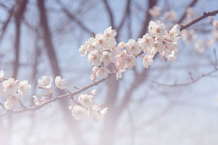 focus on background: Cherry blossom in soft focus