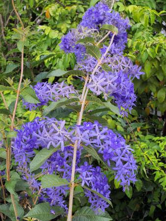 The wreaths of Purple Wreath, or Sandpaper Vine  or Bluebird Vine or QueenÕs Wreath flowers or Petrea Volubilis with green leaves 写真素材