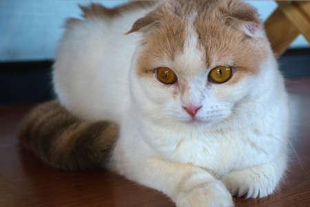 三毛猫ねこネコ スコティッシュフォールド猫カメラ目線 写真素材