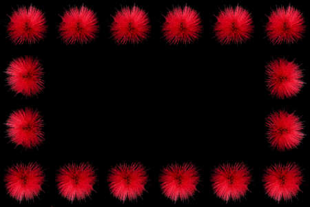 Collection of  red powder puff flowers or Calliandra haematocephala Hassk decorated as a frame