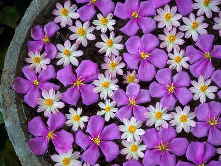 Purple glory flowers and starburst flowers floating on water 写真素材