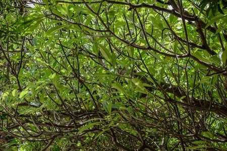 プルメリアやフランジパニの木背景 写真素材