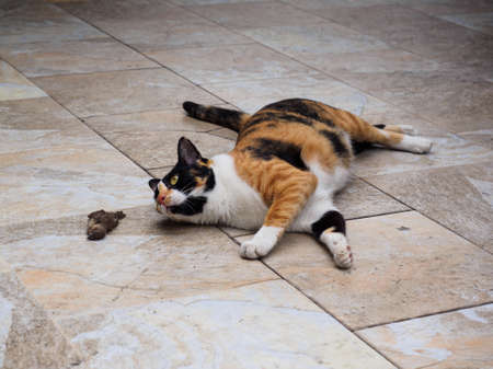Female Tortoiseshell and white cat lying on the floor and looking at the bird that it just hunted 写真素材