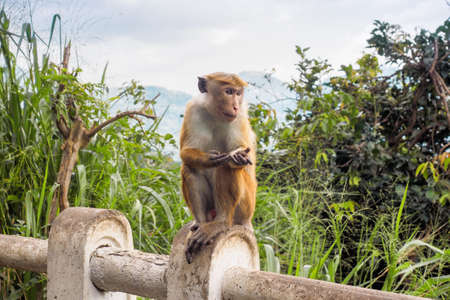 Ceylon-hat monkey or Macaca sinica begging people for food at the roadside in rural area of Sri Lanka
