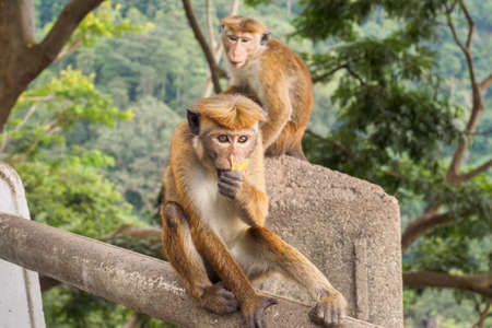 Ceylon-hat monkey or Macaca sinica eating banana at the roadside in rural area of Sri Lanka while the other monkey looking on 写真素材