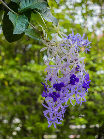 The wreaths of Purple Wreath, or Sandpaper Vine  or Bluebird Vine or Queen�s Wreath flowers or Petrea Volubilis with green leaves