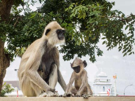 Langur monkeys or gray langur or Hanuman langur (Semnopithecus entellus) mother and her baby sitting on the fence in Anuradhapura ancient city, Sri Lanka.