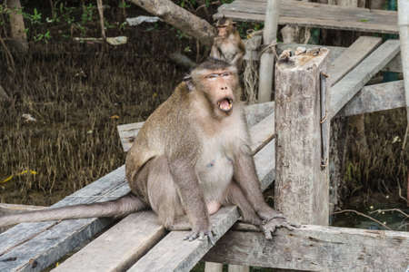 The fat long-tailed macaque or crab-eating macaque sitting on the wooden platform while opening its mouth