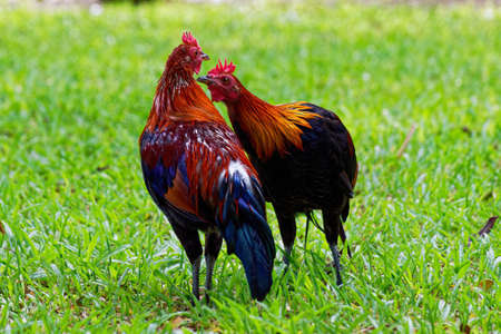 Two colorful Asian female indigenous hens in the green field.