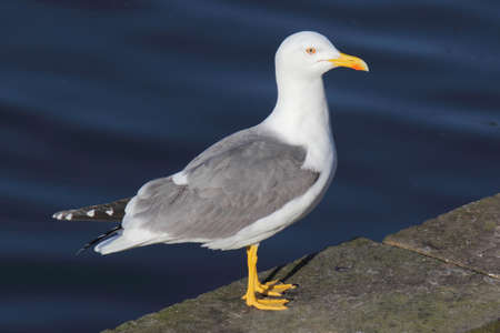 A Yellow-Legged Gull at Roath Park Lake, Cardiff, Wales  Stock fotó