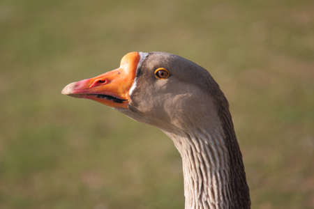 greylag: A closeup telephoto portrait of a Greylag Goose in profile.