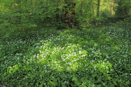 Sun Dappled Wild Garlic and other Wildflowers - Bute Park, Cardiff, Wales,