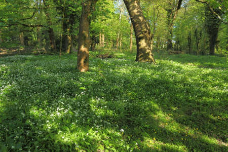 Woodland Clearing in Spring with Sun dappled Wild Garlic and Other Plants amd Grasses - Bute Park, Cardiff, Wales