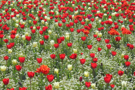 Bed of Red and White Tulips with Smaller White Flowers - Gorsedd Gardens, Cardiff, Wales Imagens