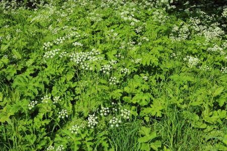 Cow Parsley, Grasses and Other Wild Plants - Background/Texture