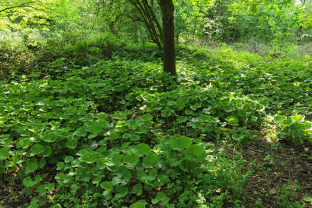 Shade of a Tree with Marsh Marigold Leaves - Bute Park, Cardiff, Wales