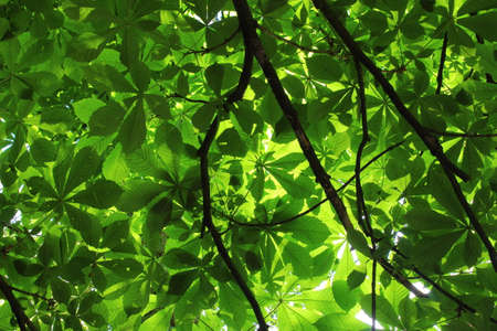 Sunlight Through the Leaves of a Horse Chestnut Tree - Bute Park, Cardiff, Wales
