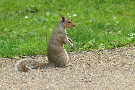 Grey Squirrel Standing on a Path - Bute Park, Cardiff, Wales 版權商用圖片