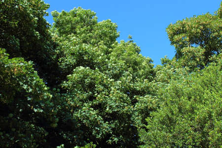 Sycamore Trees and a Rhododendron Bush against a Blue Sky Stock fotó