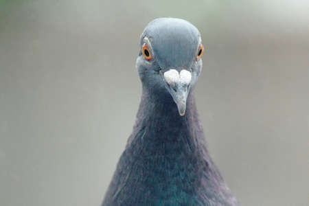 Pigeon Portrait (Closup)