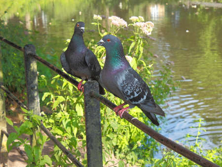 Pair of Pigeons Courting at Roath Park Lake, Cardiff, Wales