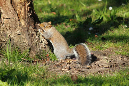 Grey Squirrel Biting and Scratching at s Tree Trunk - Bute Park, Cardiff, Wales