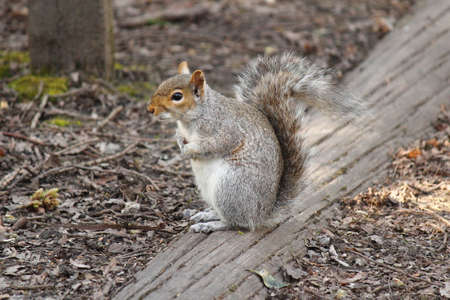 Grey Squirrel Sitting on a Log at the Edge of a Path - Bute Park, Cardiff, Wales
