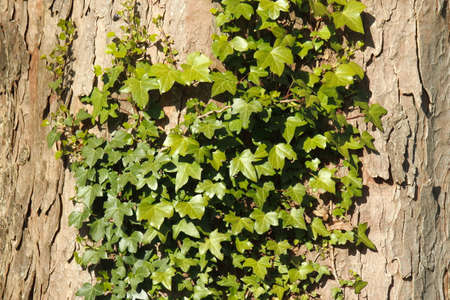 Ivy Growing on Maple/Sycamore Bark - Background/Texture