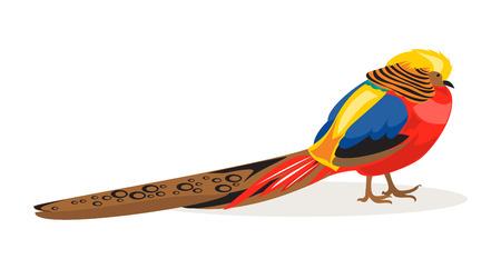 oiseau dessin: Illustration or faisan chinois sur un fond blanc