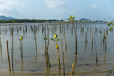 Young mangrove growing from salty water on supporting roots, at low tide.