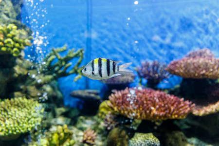Cichlid, aquarium fish swimming in aquarium Stock Photo