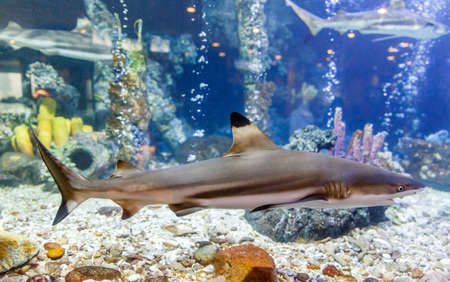 Blacktip reef shark in tank at aquarium in coral background