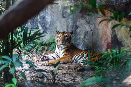 Bengal tiger resting and staring with its green eyes in Zoo.