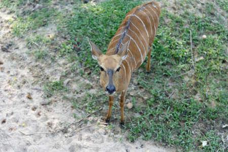 Burmese brow-antlered deer or Rucervus eldii, thamin in thailand.