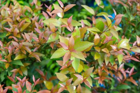 syzygium austral Red leaf for natural background, Australian Rose Apple, Brush Cherry