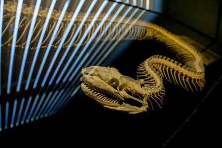 the skeleton of snake Stock Photo