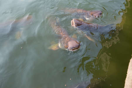 Pangasius fish Swimming and feed breathe. 版權商用圖片