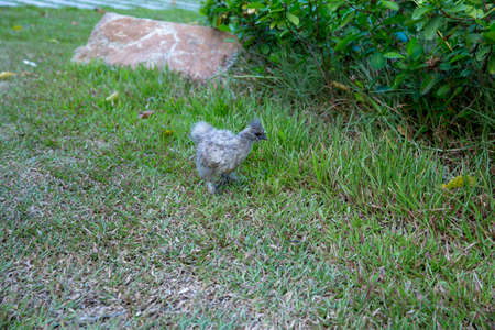 Silkie chicken: gray rooster hen on the green grass. Silkie rooster have like wool feathers. Selective focus image.