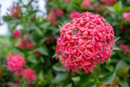 Red pink spike flower, King Ixora blooming in the garden.