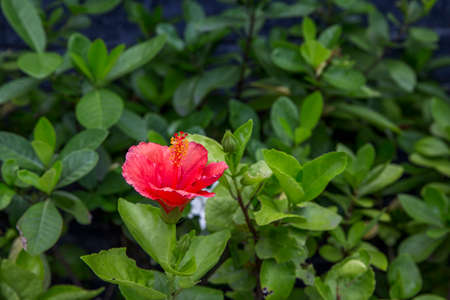 Hibiscus rosa-sinensis flower in the garden,beautiful nature,background
