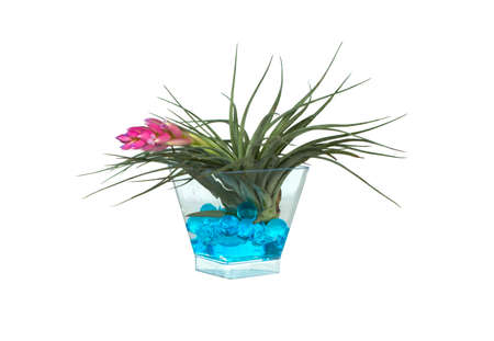 Tillandsia cyanea, pink quill, air plant in a cup, isolated white background