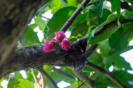 Pink flowers of the rose apple, focus selective. 版權商用圖片