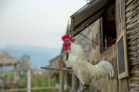 Domestic white chicken sits on a branch or wooden stick in the village, focus selective.