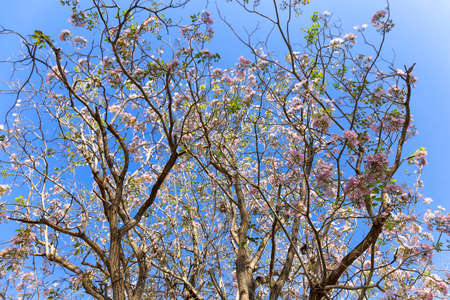 Close up of beautiful Pink, Tabebuia rosea in full bloom against blue sky Archivio Fotografico