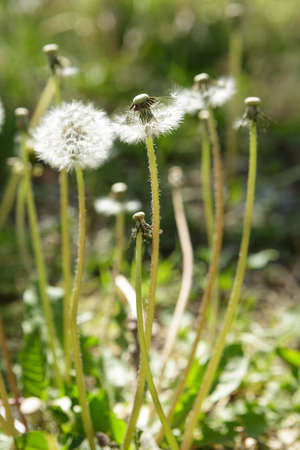 Dandelions and Green Weeds in Spring Stock Photo
