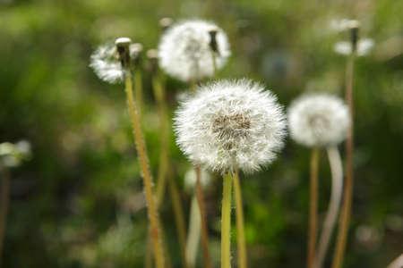 Spring Dandelions Stock Photo