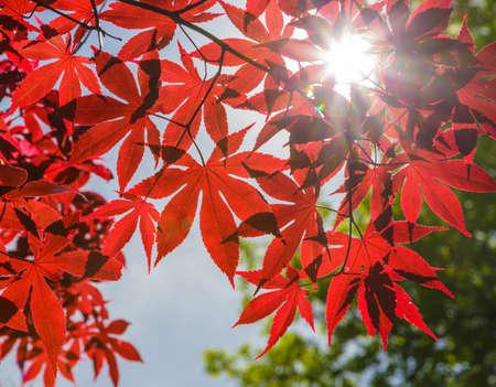 赤いもみじの葉、青空に対して隔離される葉します。 写真素材