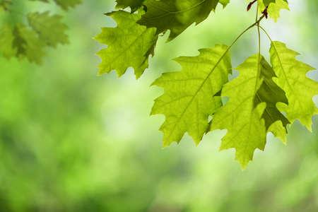 緑に対して分離された枝に春のカシの葉 写真素材
